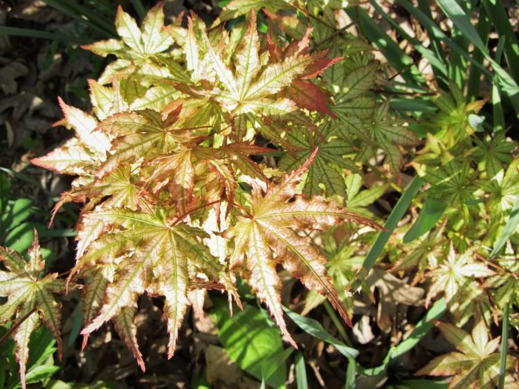 April 18, 2020 Acer palmatum