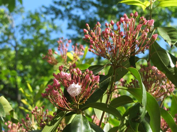 April 23, 2020 Mountain Laurel, Kalmia latifolia