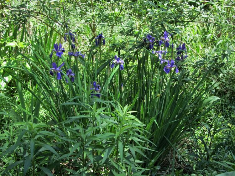 May 3, 2020 Siberian Iris