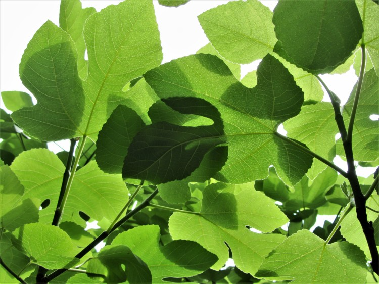May 19, 2020 Fig leaves