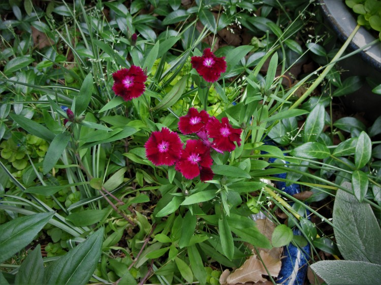 May 21, 2020 overwintered Dianthus blooms before the pot is groomed for summer.