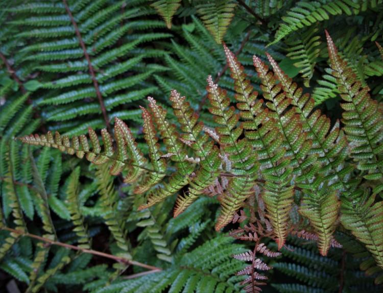 May 29, 2020 Autumn fern