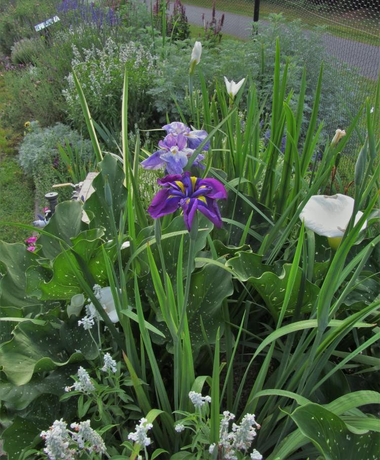 June 12, 2020 The Iris border at the Williamsburg Botanical Garden