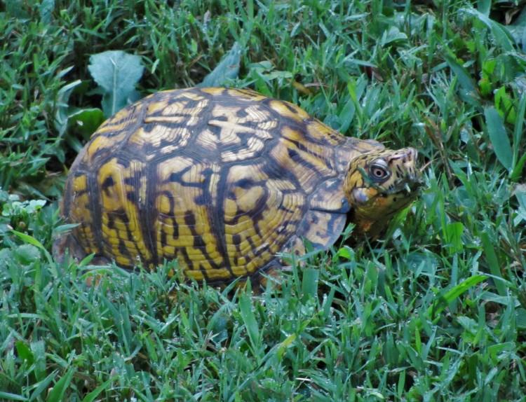 July 26, 2020 Woodland Box Turtle, Terrapene carolina carolina, at breakfast