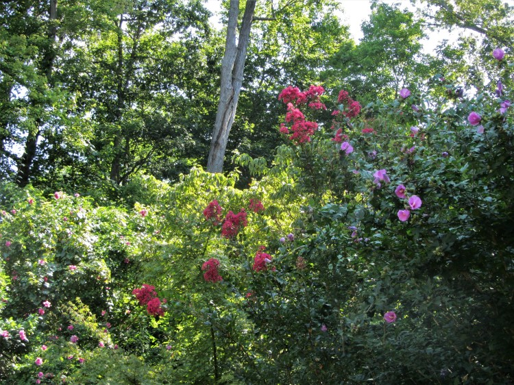 August 11,2020 crape myrtle and rose of Sharon trees in bloom.