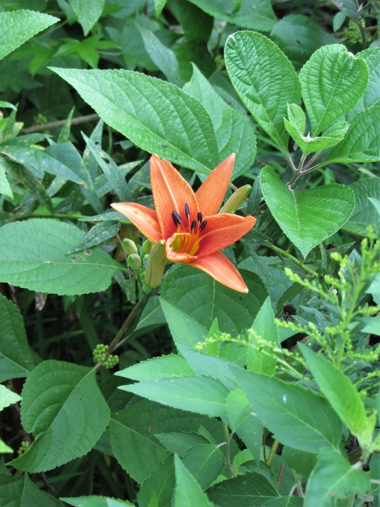 August 28, 2020 Daylily