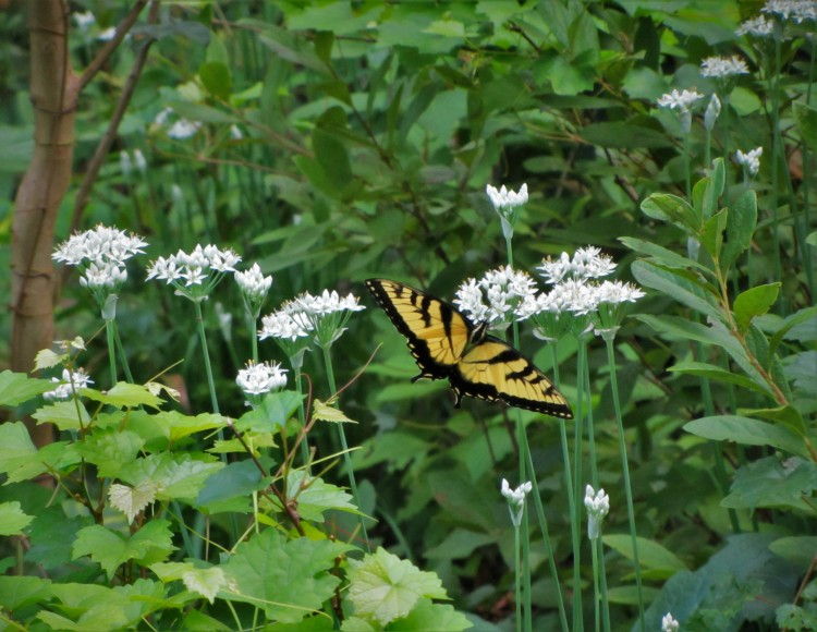 August 27, 2020 male Eastern Tiger Swallowtail butterfly on garlic chives