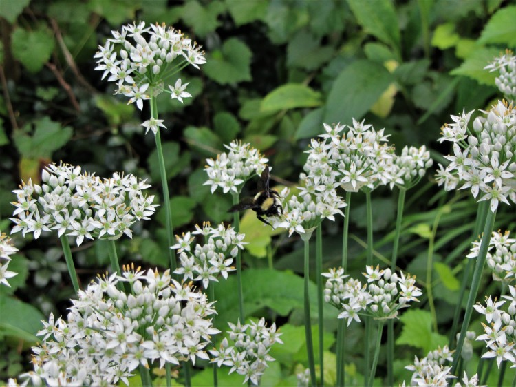 August 30, 2020  bumblebee on garlic chives