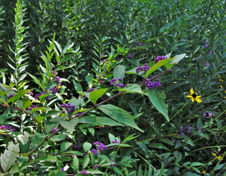 October 1, 2020 Beautyberry with autumn native flowers