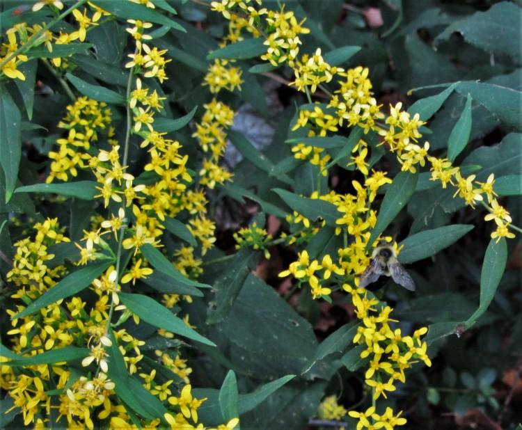 October 13, 2020 Bumblebee on Goldenrod