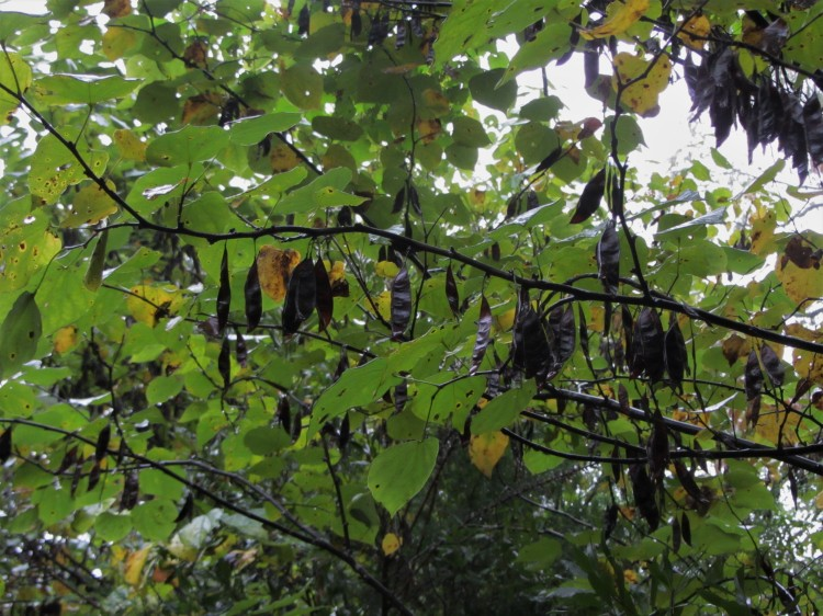October 15, 2020 Cercis canadensis seeds ripening