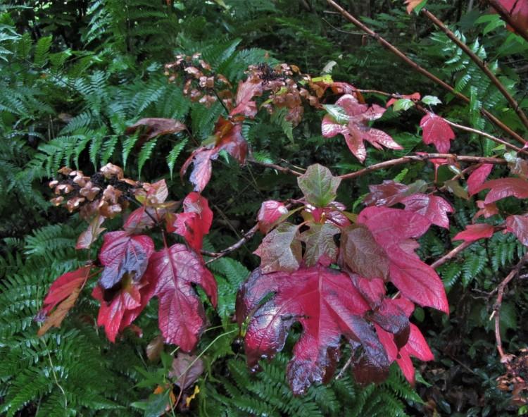 October 12, 2020 Oakleaf Hydrangea with Autumn Fern 'Brilliance'
