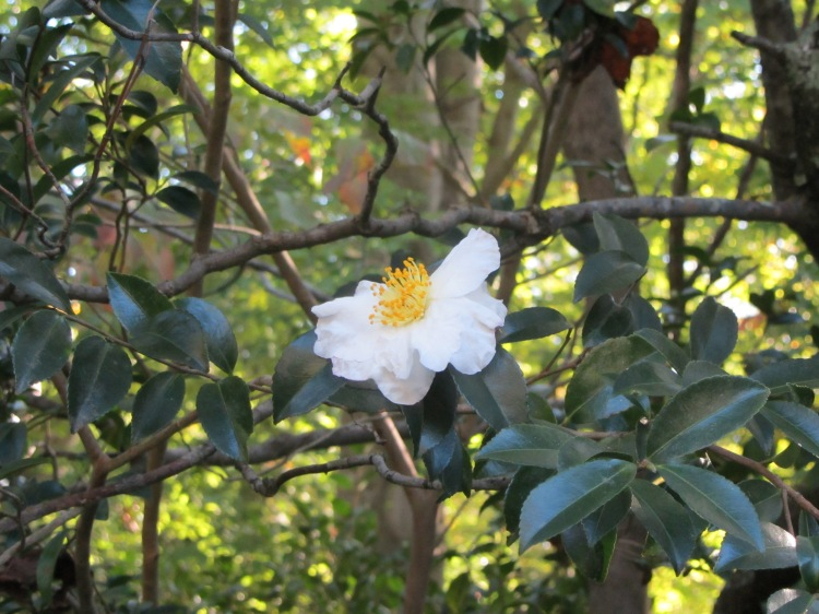 October 18, 2020 Camellia sasanqua