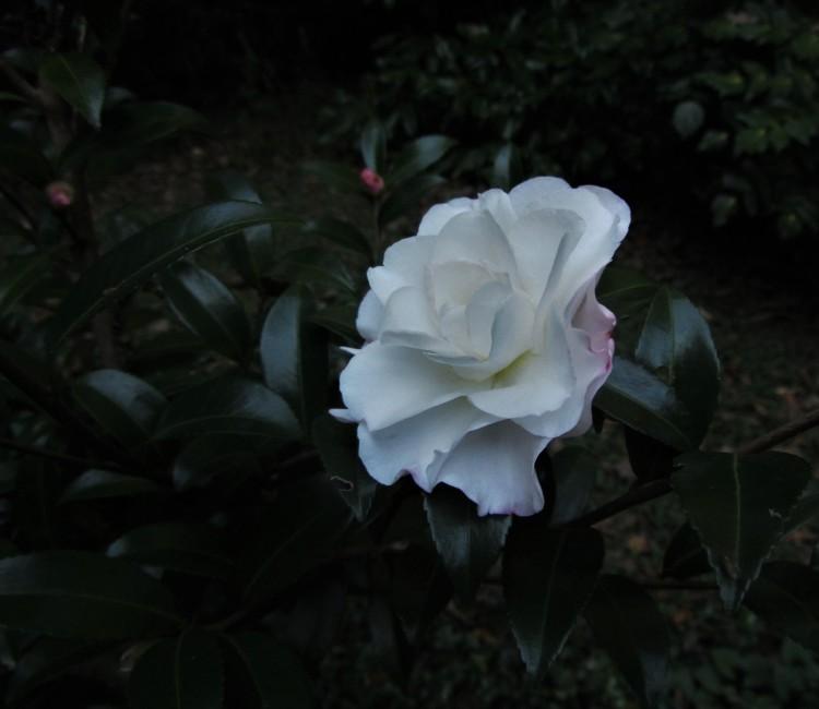 October 22, 2020 Camellia sasanqua at dusk