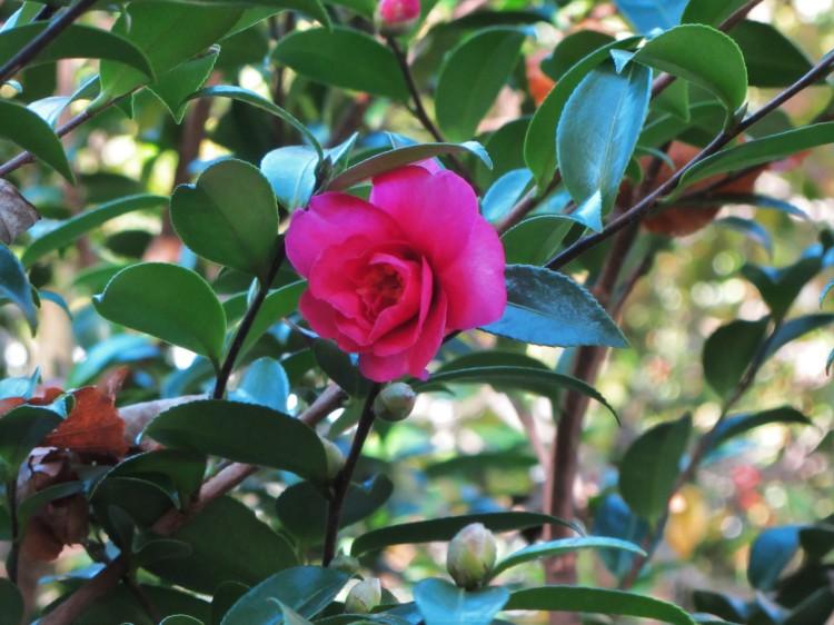October 26, 2020 Camellia sasanqua