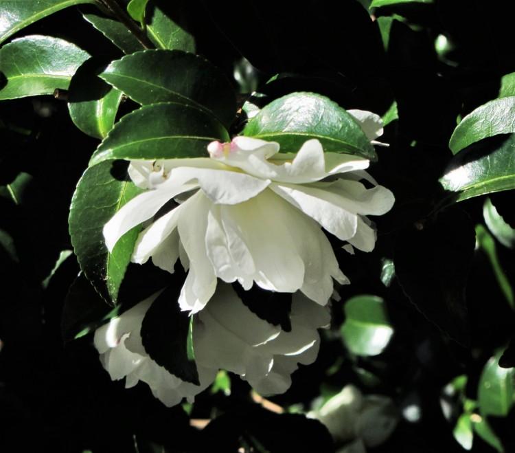 October 25, 2020 Camellia sasanqua