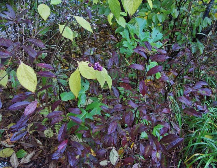 October 31, 2020 Beautyberry, Callicarpa americana