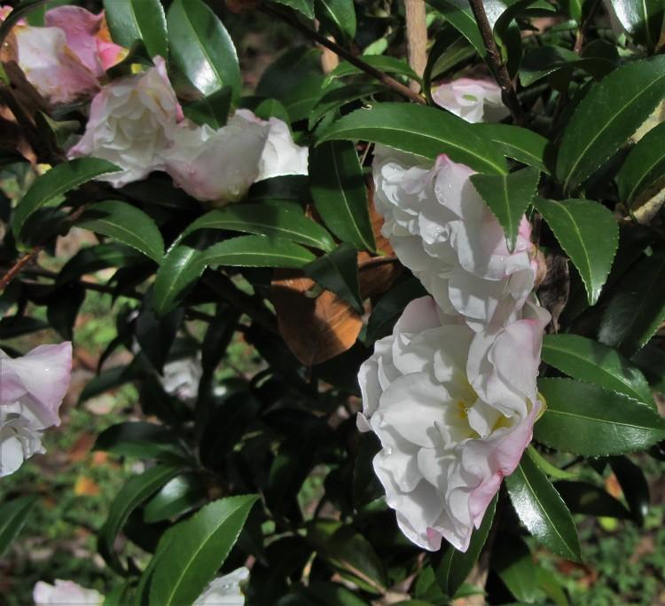 November 5, 2020 Camellia sasanqua