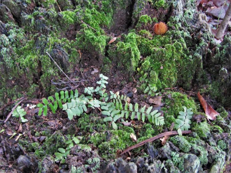 November 1, 2020 Ebony Spleenwort and moss