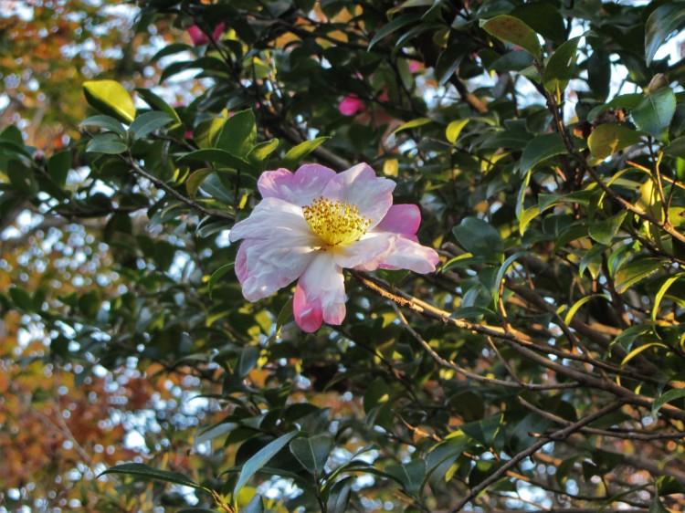 November 11, 2020 Camellia sasanqua