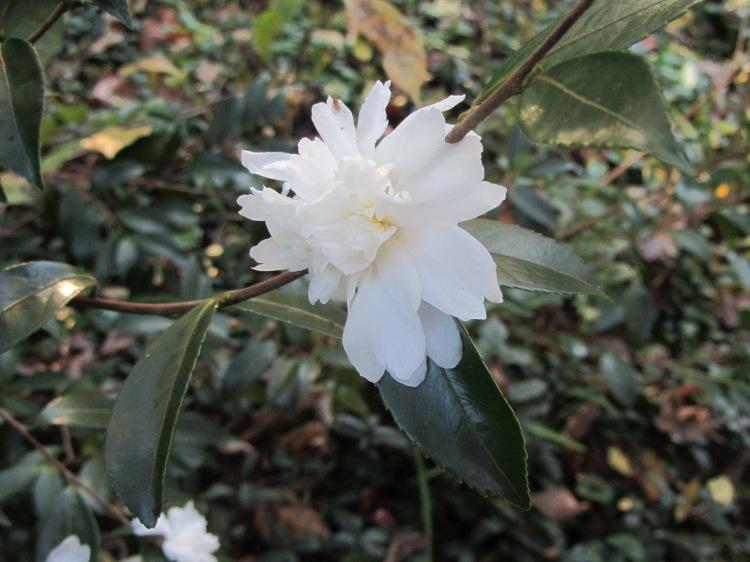 October 13, 2020 Camellia sasanqua