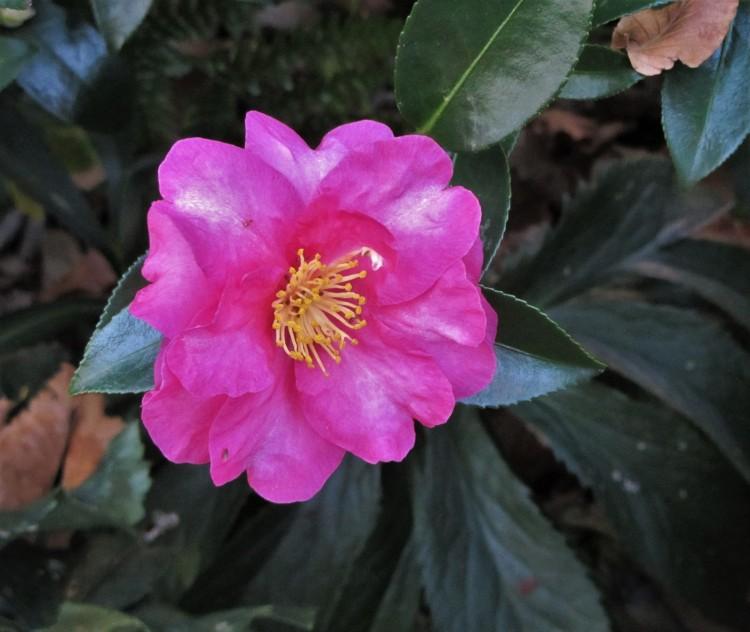 November 12, 2020 Camellia sasanqua