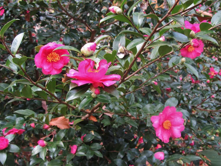 November 17, 2020 Camellia sasanqua